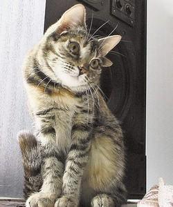 Кот с четырьмя ушами.
