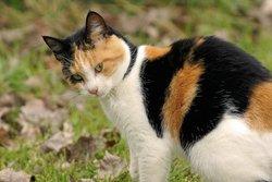 Трёхцветный кот