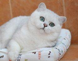 Британские шиншиллы кошки