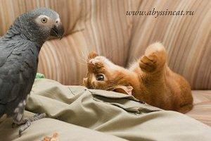 Абиссинская кошка и попугай