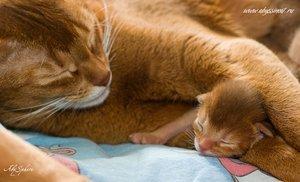 Абиссинская кошка и котенок