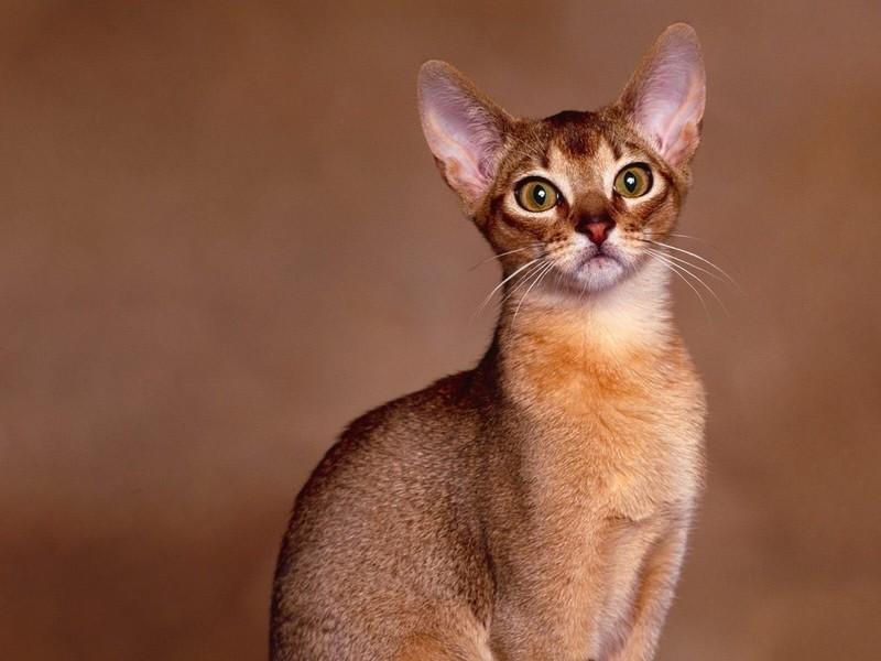 Кот кошка абиссинская