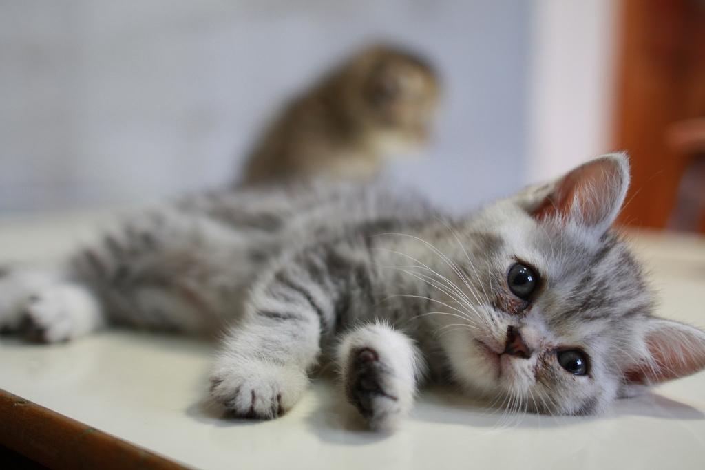 Американская короткошерстная кошка описание породы фото