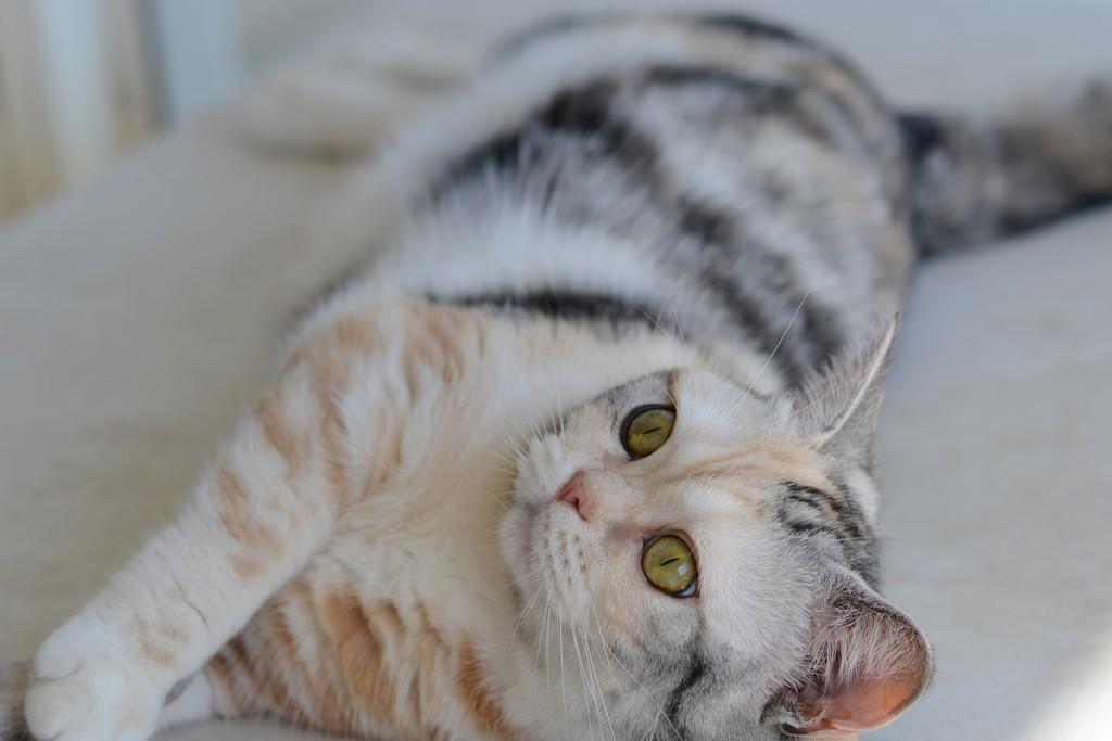 Американская короткошерстная кошка фото американская