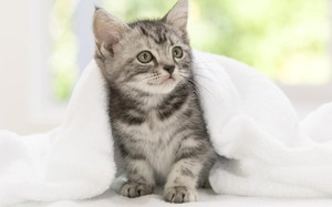 Американская кошка