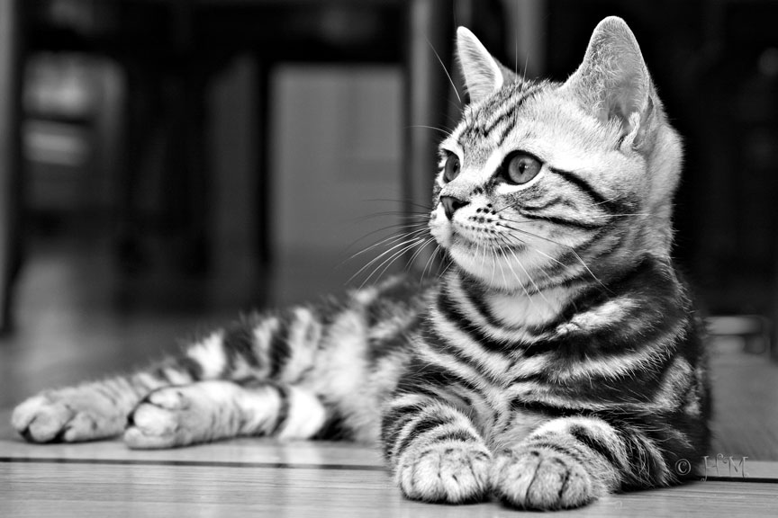Породы кошек Американская короткошерстнаяХарактерУход