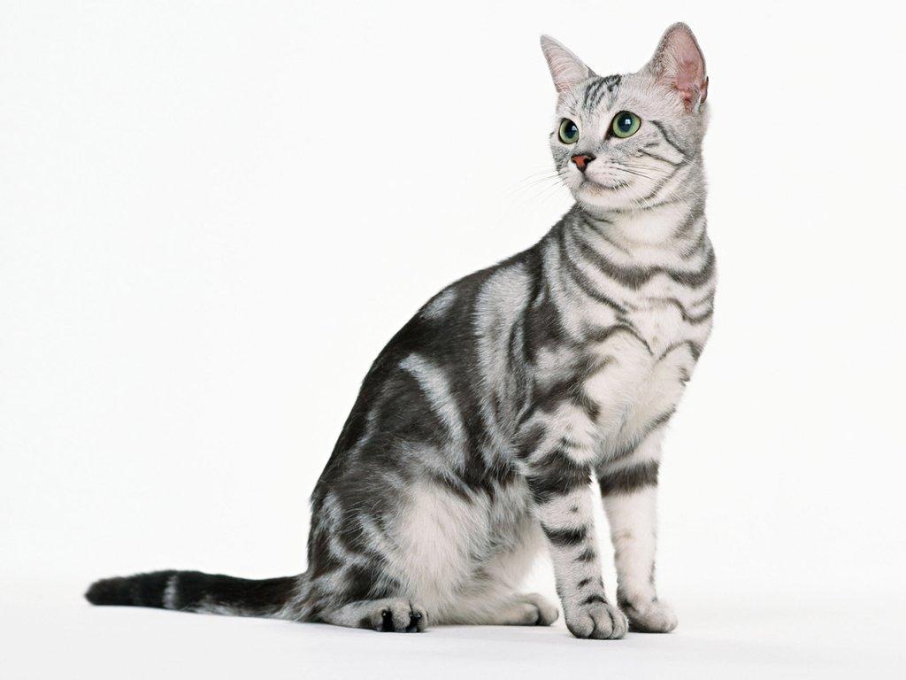 американские кошки фото