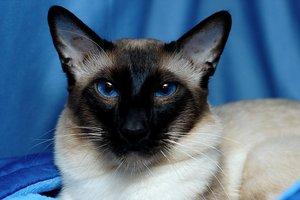 Балинезийская  кошка котенок