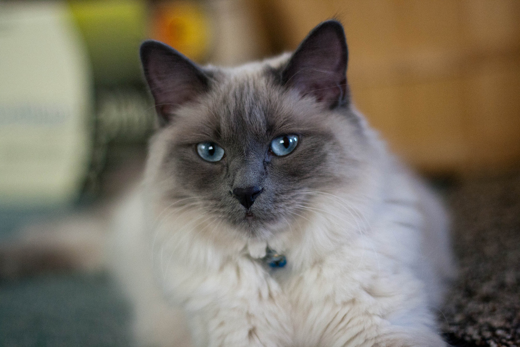 Балинезийский коты фото