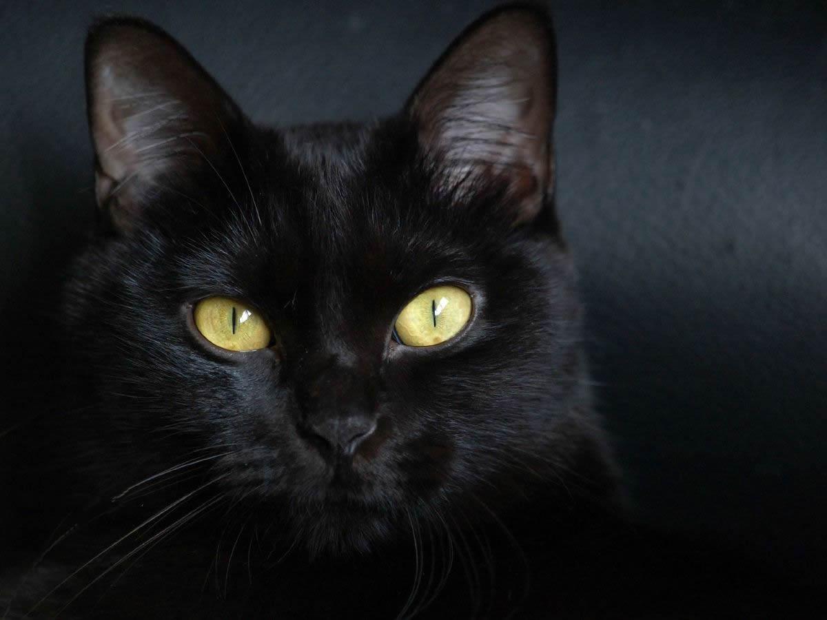 порода кошек бомбейская фото