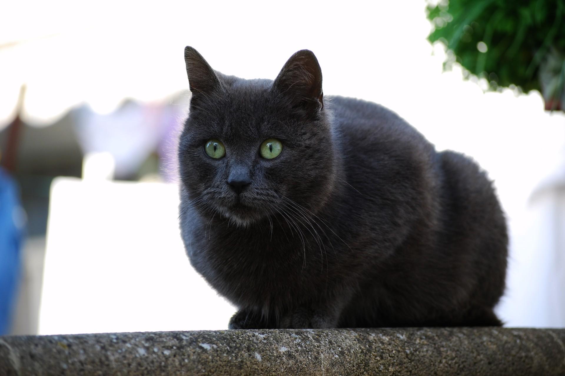 Британская длинношерстная кошкаФотографии породы кошек