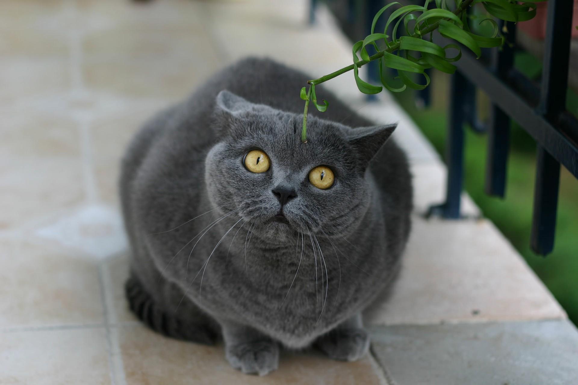 британские кошки фото пятнистые