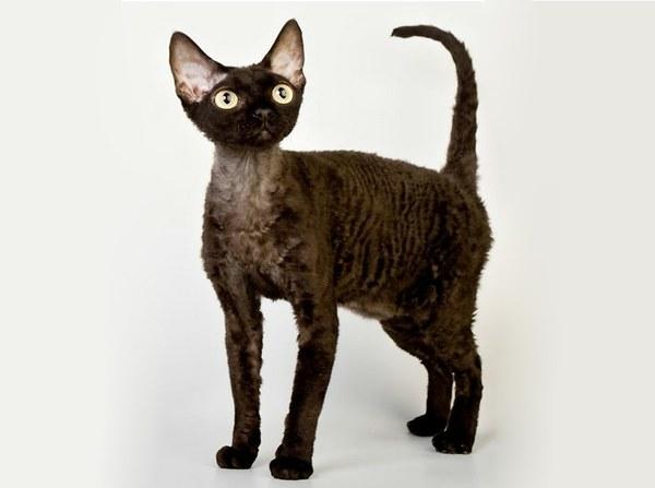 Девон-рекс, описание породы, фото, характер, окрас, отзывы ...: http://catvtomske.ru/breeds/devon-rex.html