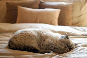 Экзотическая кошка, экзот