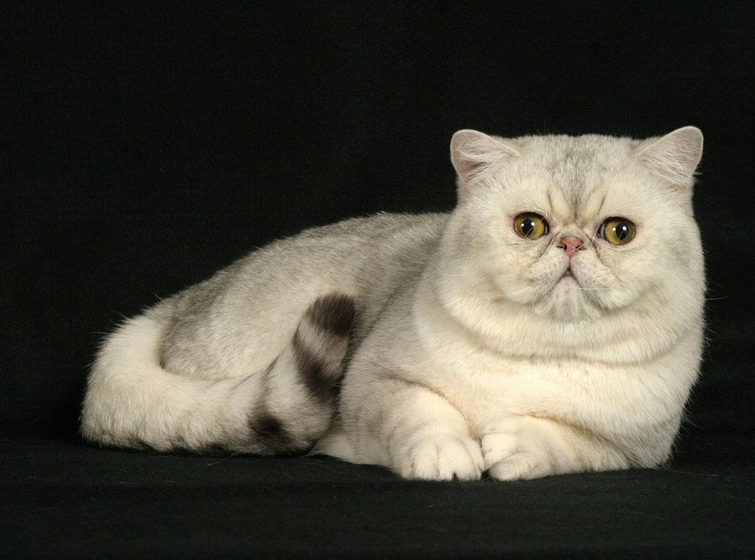 Кот экзот цвет