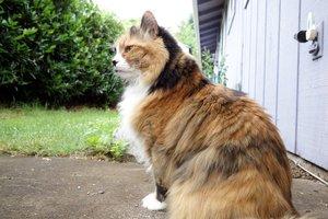 Норвежская лесная кошкаа