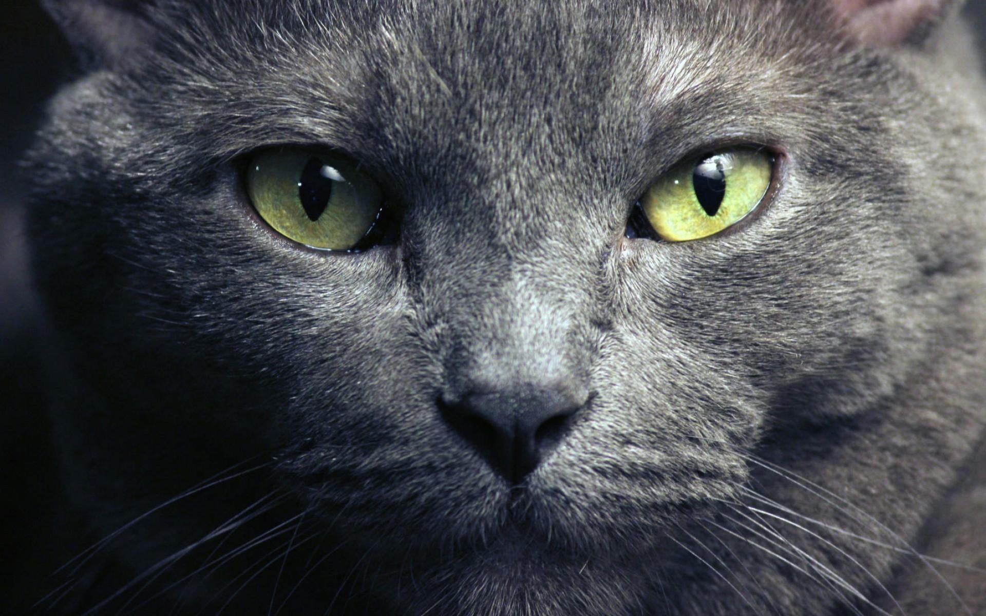 обои для рабочего стола кота русского № 610737 без смс