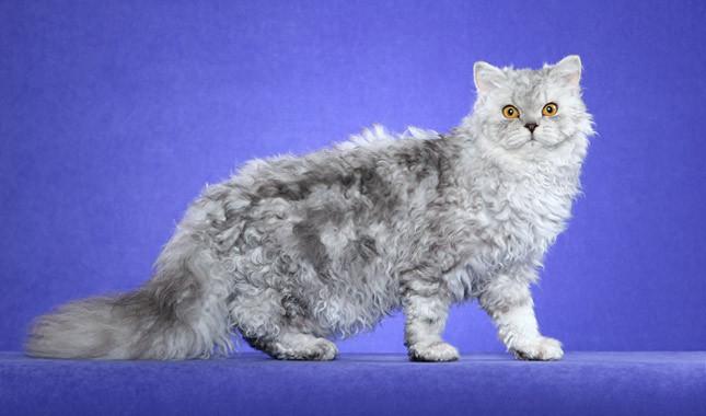 Селкирк рекс — описание породы кошек, фото, отзывы и характер