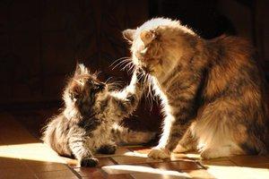 Сибирская кошка и котенок