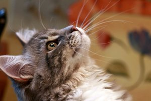 Сибирская кошкаа