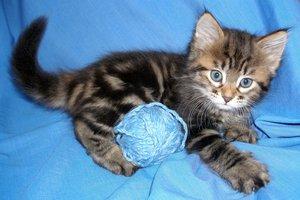 Сибирский котенок