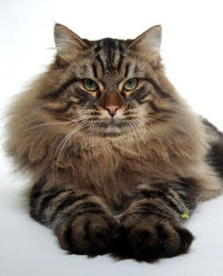 кошка сибирская лесная фото