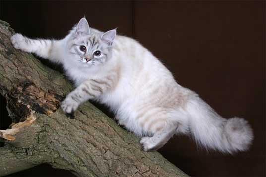 Отзывы о сибирский котах