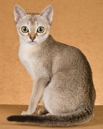 фото сингапурская кошка