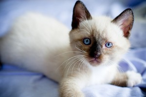 Сноу шу котенок