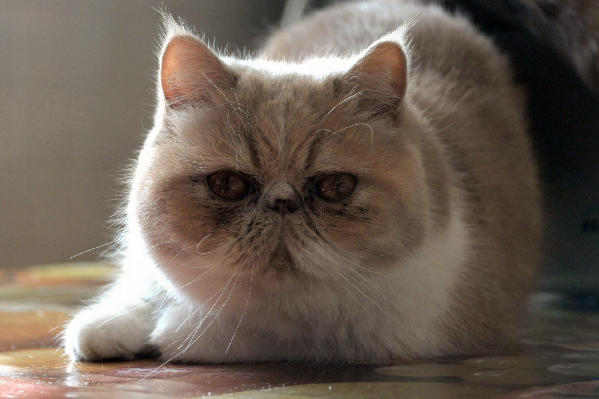 персидская экзотическая кошка фото что может кому