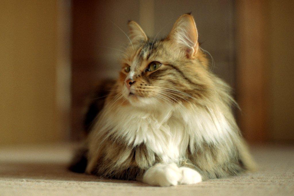 услугам гостей норвежская лесная порода кошек фото и описание связана выявленной