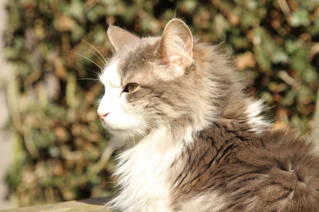Норвежская лесная кошка фото персиковый цвет