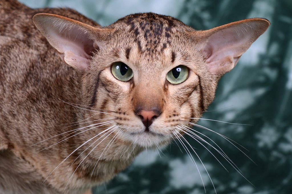 Картинки кошек ориентал