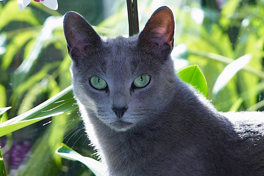 русская голубая порода кошек фото смартфон