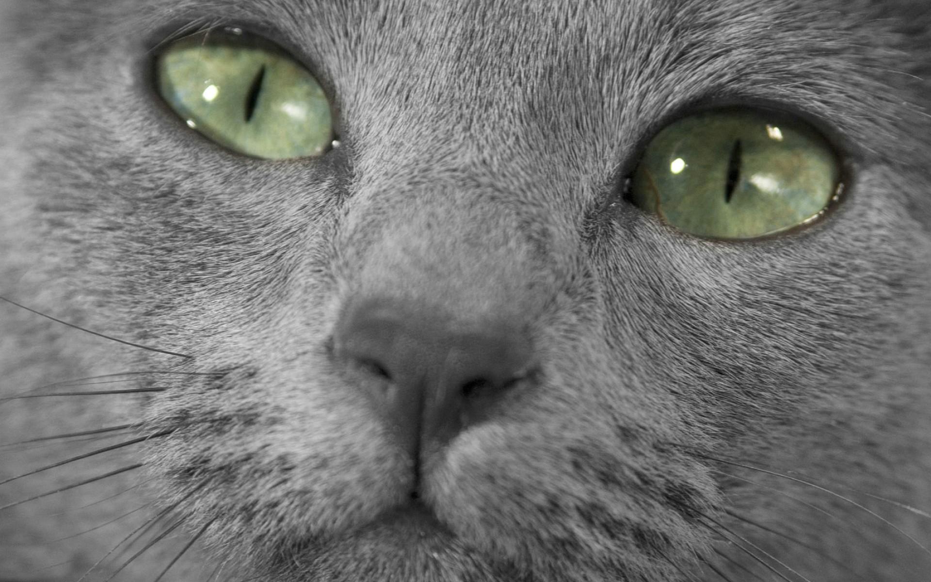 Картинки на рабочий стол кошки русской