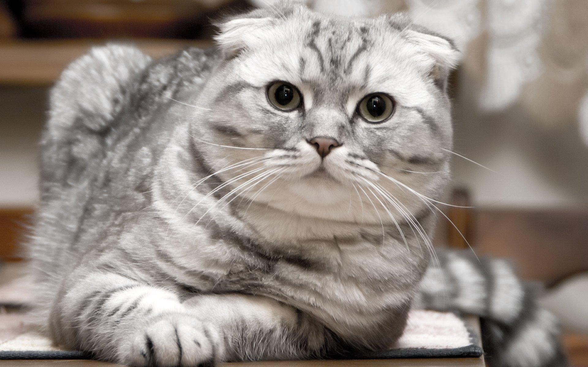 фото кошек шотландцев вислоухих ногтях, отсутствие