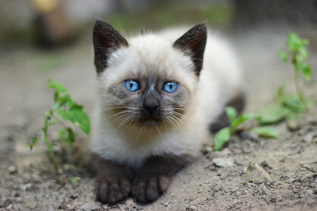 Сиамская порода кошки картинки