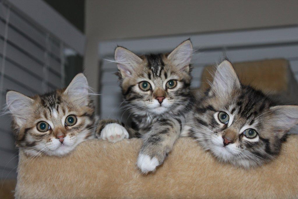 Сибирские кошки фотографии пвх