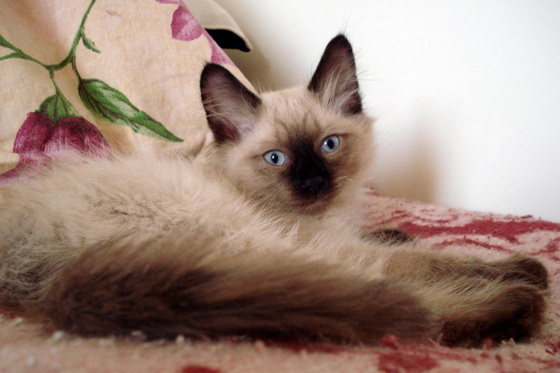 картинки тайских кошек и котят