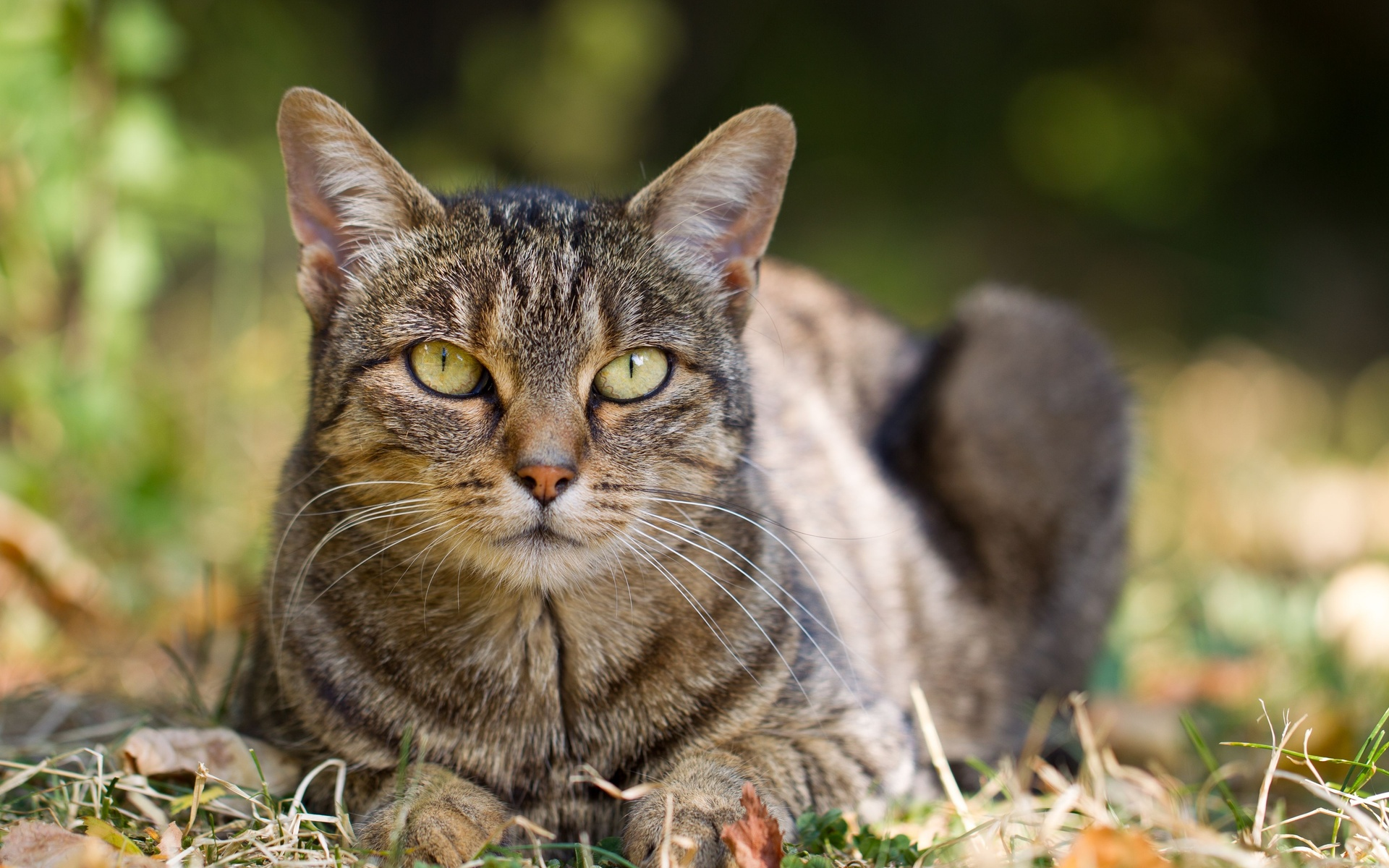 Благородный кот картинка