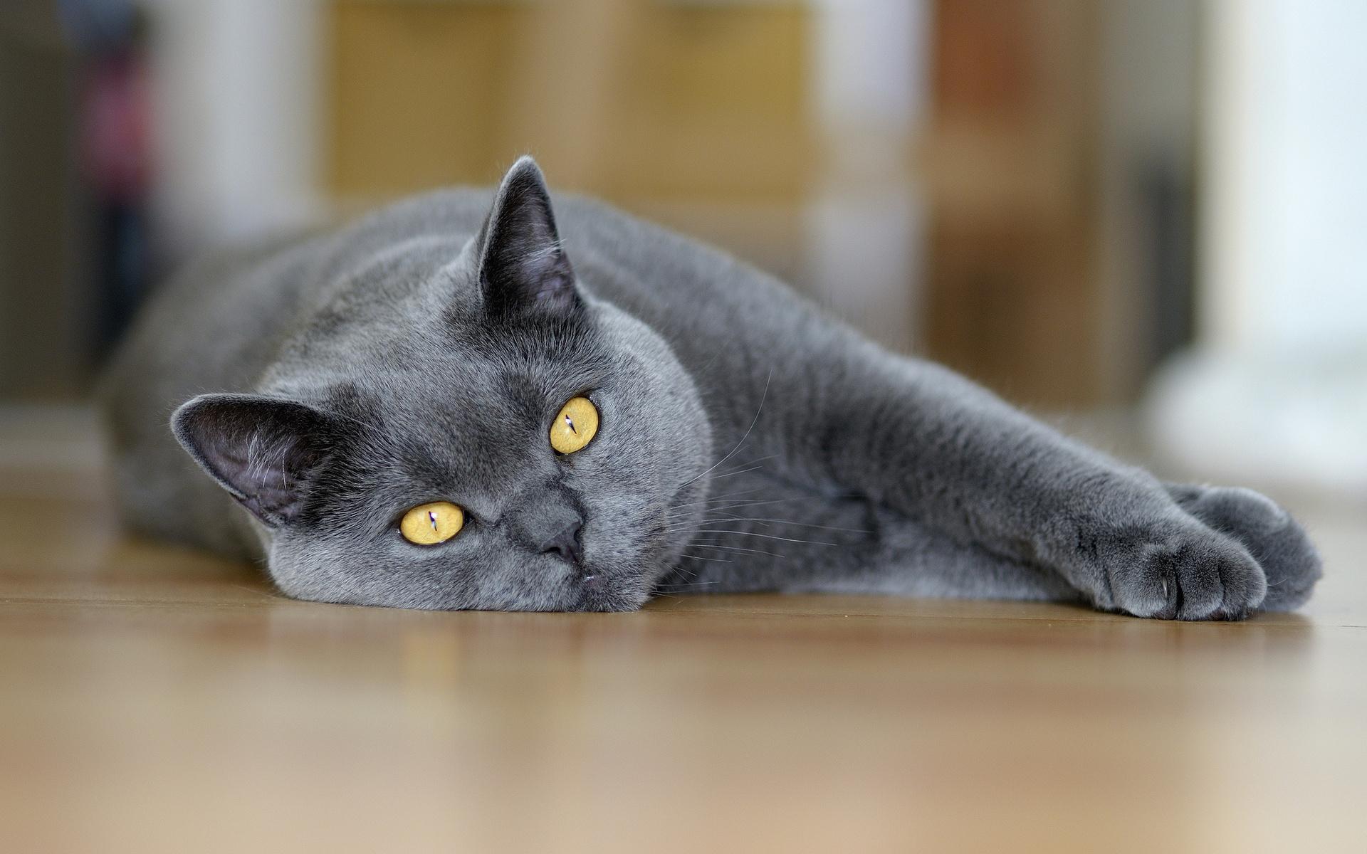 Картинки британские кошки в хорошем качестве