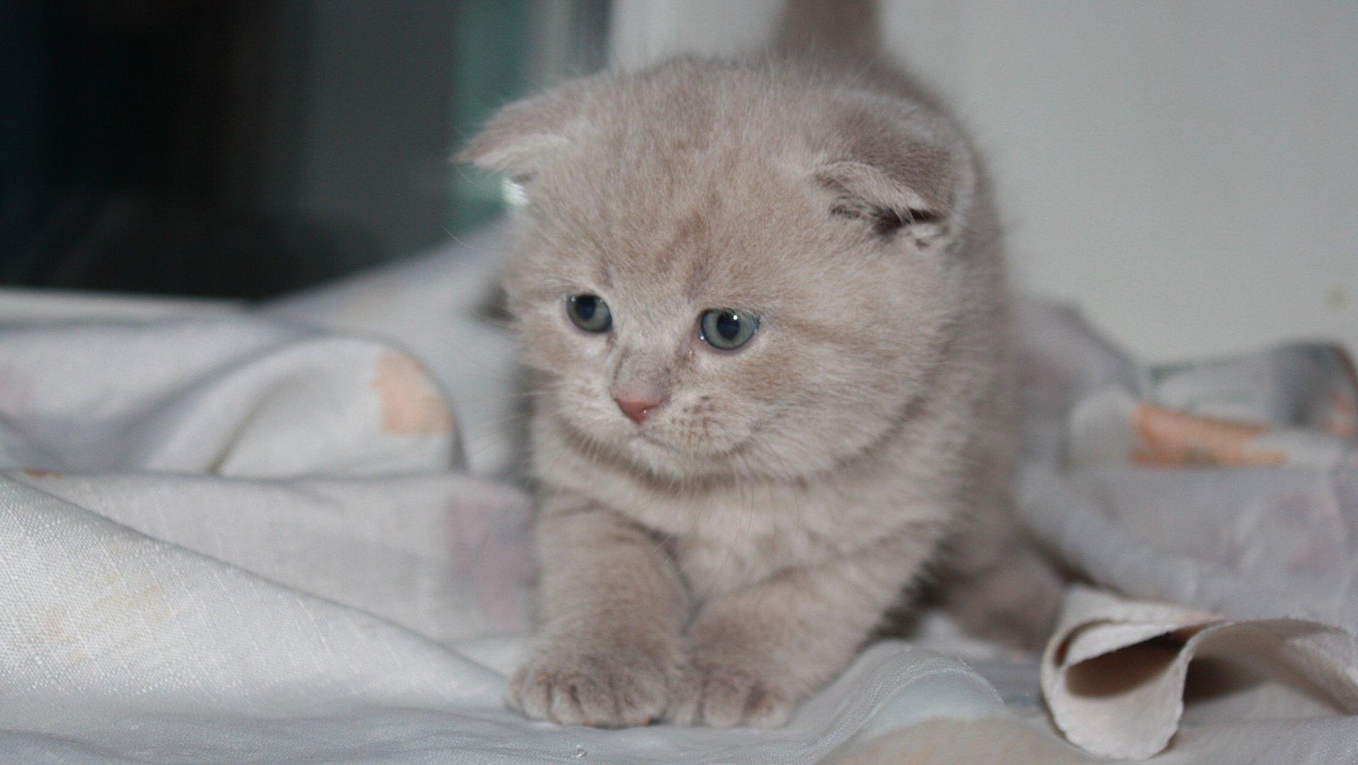 http://catvtomske.ru/assets/templates/site/img/breeds/scottish_fold/scottish_fold16.jpg